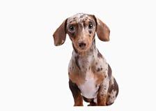 Close-up of Dachshund on white background Stock Images