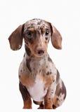 Close-up of Dachshund on white background Royalty Free Stock Photo