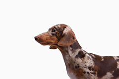 Close-up of Dachshund on white background Royalty Free Stock Images