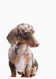 Close-up of Dachshund on white background Stock Photography