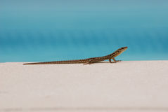 Lizard basking in the sun by a swimming pool in Fr. A lizard by a swimming pool in the south of France basking in the summer sunshine stock images