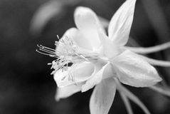 Close-up of Daffodil in Black and White. Daffodil flower, petals, and stamen in black and white Stock Photo