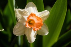 Daffodil flower in garden Royalty Free Stock Photography