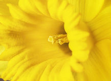 Close up of daffodil. Macro photograph of a bright yellow daffodil. Focus of the image is to the stamen which on which can be seen pollen royalty free stock images
