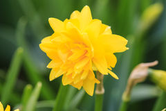 Close up of a daffodil. Close up of a yellow daffodil stock photos