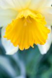 Close up of daffodil Royalty Free Stock Photo