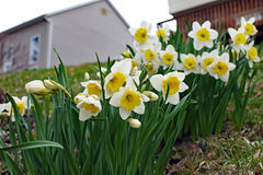 Close up of daffodils in the back yard. With home in the distance Stock Photo