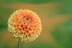 Close-up of Dahlia Blooming Outdoors Royalty Free Stock Photography
