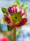 Close up of a dahlia bud Stock Photography