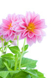 Close up of dahlia Royalty Free Stock Photography