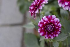 Close-up of Dahlia pinnata flower. Purple and andean tones. Blurred Background royalty free stock photo
