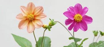 Flower of Dahlia pinnate Stock Photos