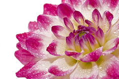 Close-up of dahlia with raindrops Stock Photography