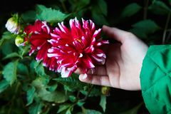 Close up dahlias flower in child`s hands growing stock image
