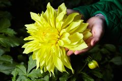 Close up dahlias flower in child`s hands growing royalty free stock images