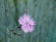 A close-up of a dainty flower of maiden pink on blurred background. A close-up of a dainty flower maiden pink on green blurred background. A flower has soft stock photos