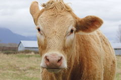 Close-up of a  Dairy Cow Royalty Free Stock Photos