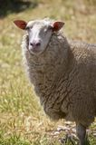 Close up of dairy sheep in Australia Stock Images