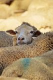 Close up of dairy sheep in Australia Stock Photos