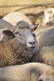 Close up of dairy sheep in Kangaroo Island Stock Photography