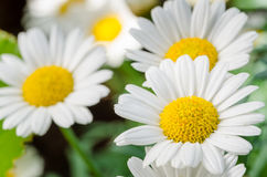 Close up of Daisies in a Garden. Close up of some Beautiful White Daisies Royalty Free Stock Photos