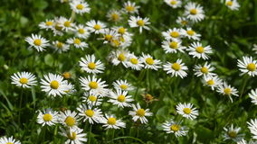 Close-up of daisies in the grass. Stock Images