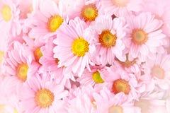 Close up daisies pink Royalty Free Stock Photos