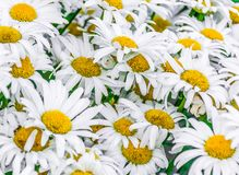 Close up on Daisies Seeking for the Sun. Repeating patern of nature beauties Stock Images