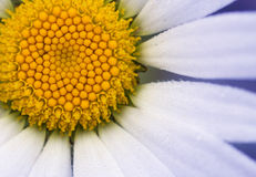 Close up Daisy Royalty Free Stock Image