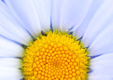 Close up Daisy Stock Photography