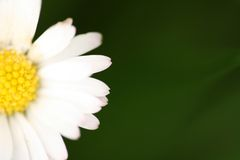 Close-up of the daisy Stock Photos