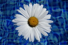 Close up of daisy. Close up of a daisy with swimming pool water as background Stock Images