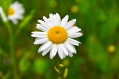 Close up of a daisy royalty free stock images
