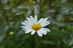 Close-up daisy with beautiful white petals in the meadow. Close-up daisy beautiful white petals meadow stock images