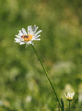 Close-up of a daisy with bee Stock Images