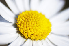 Close-up of a Daisy (bellis perennis) Royalty Free Stock Photography