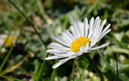 Close up of a daisy. (bellis perennis) in the grass Royalty Free Stock Photos