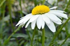 Close-up of a daisy Royalty Free Stock Image