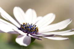 Close-up of a daisy blue center Stock Images