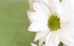 Close up of daisy flower Royalty Free Stock Photos