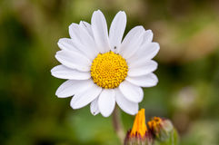Daisy flower Royalty Free Stock Image