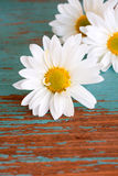 Close up of Daisy Flower Royalty Free Stock Photos