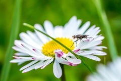Close up daisy flower in bright day with big fly on leaf. Macro Royalty Free Stock Image