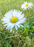 A close up of a daisy flower Royalty Free Stock Photography