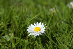 Close-up of daisy flower growing in grass Stock Photos