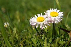 Close-up of daisy flower growing in grass Royalty Free Stock Photography