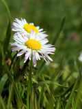 Close-up of daisy flower growing in grass Stock Photo