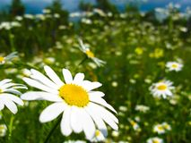 Close-up daisy flower with white petals on a background of green grass stock image