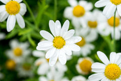 Close-up daisy flowers. Field of little white flowers Royalty Free Stock Photos