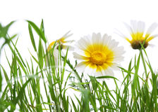 Close up of a daisy on a grass field isolated Royalty Free Stock Photos